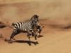 2 - Zebra Wins